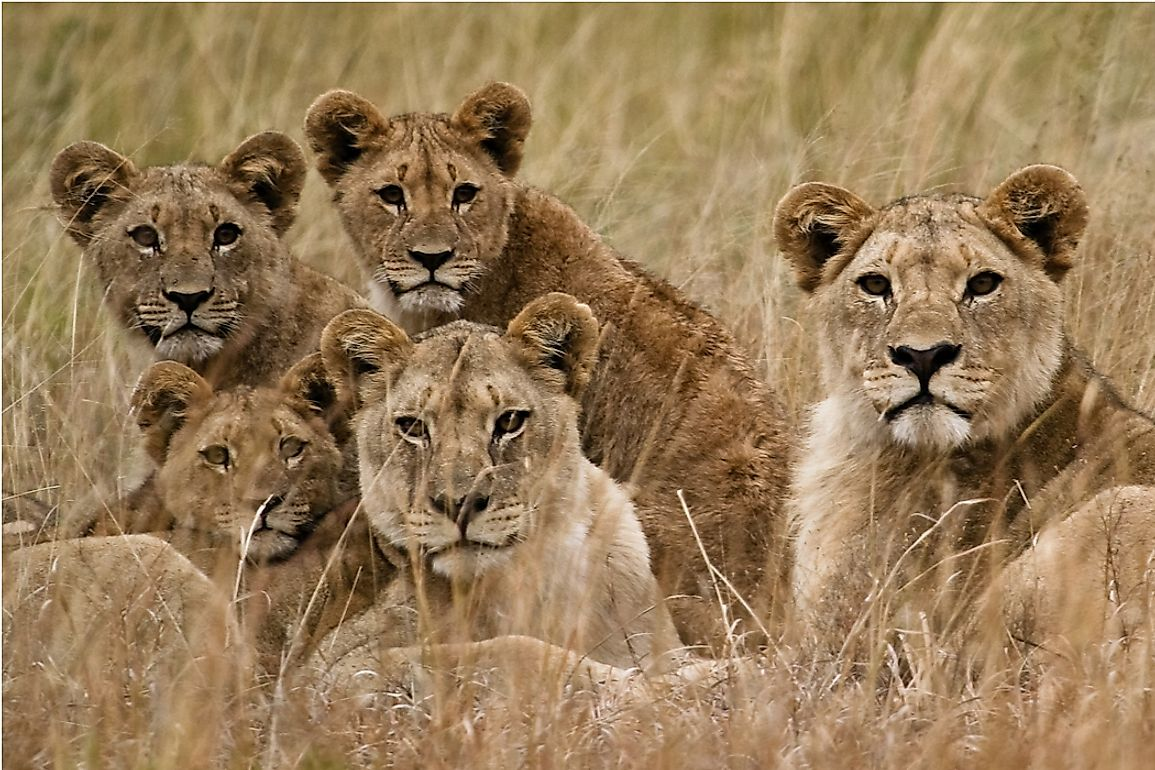 The Seven Species Of Wild Cats Of Africa