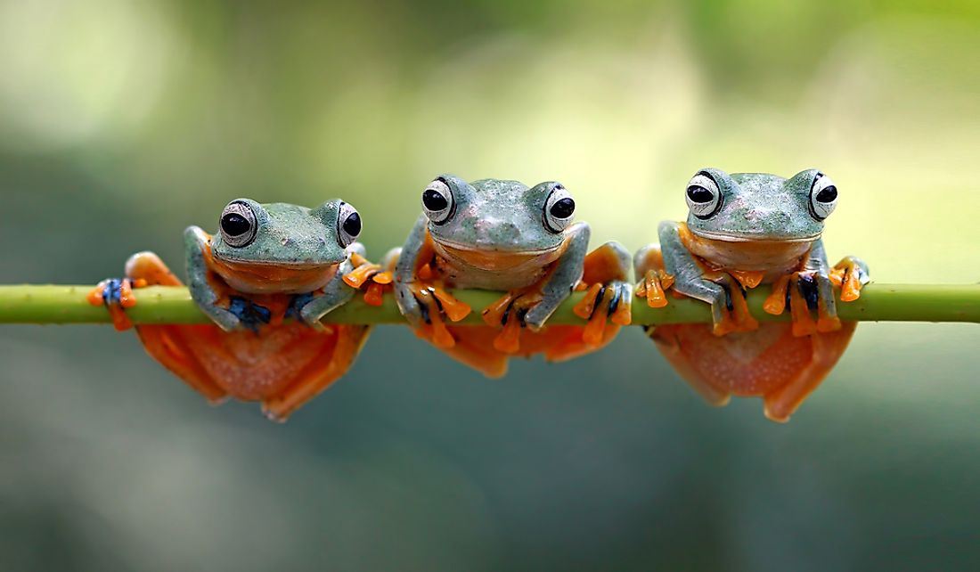 How Many Species Of Frogs Are There?