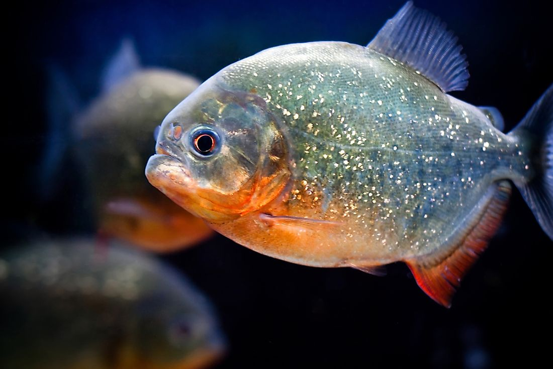 Piranha Facts - Animals of South America