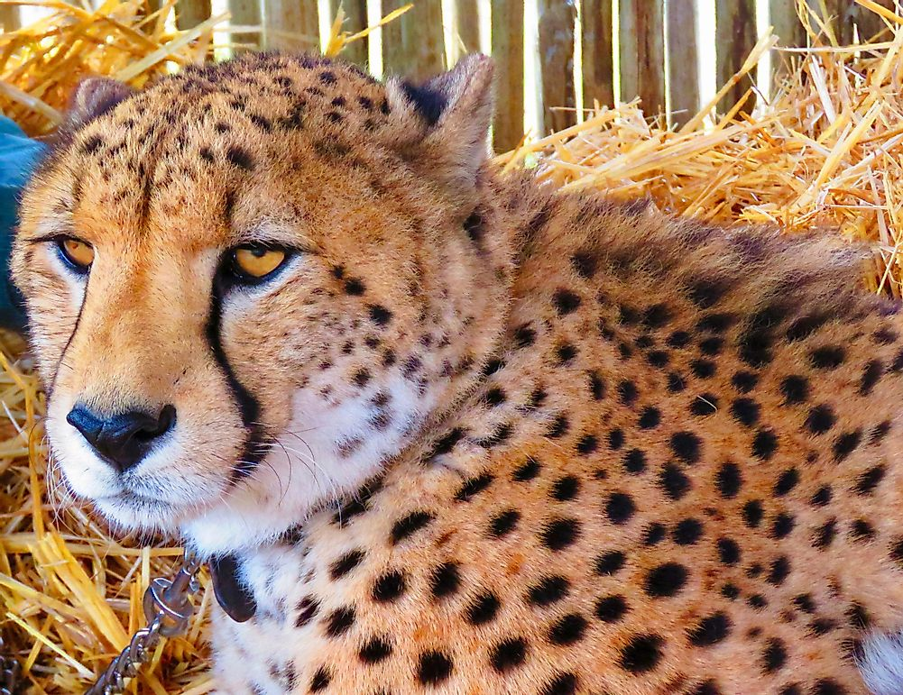 Dogs: the Cheetah's Unlikely Savior