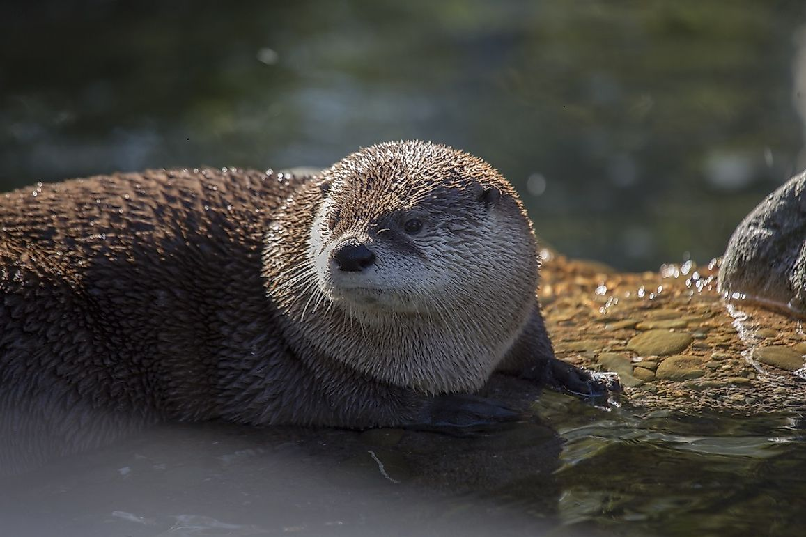 River Otter Facts: Animals of North America