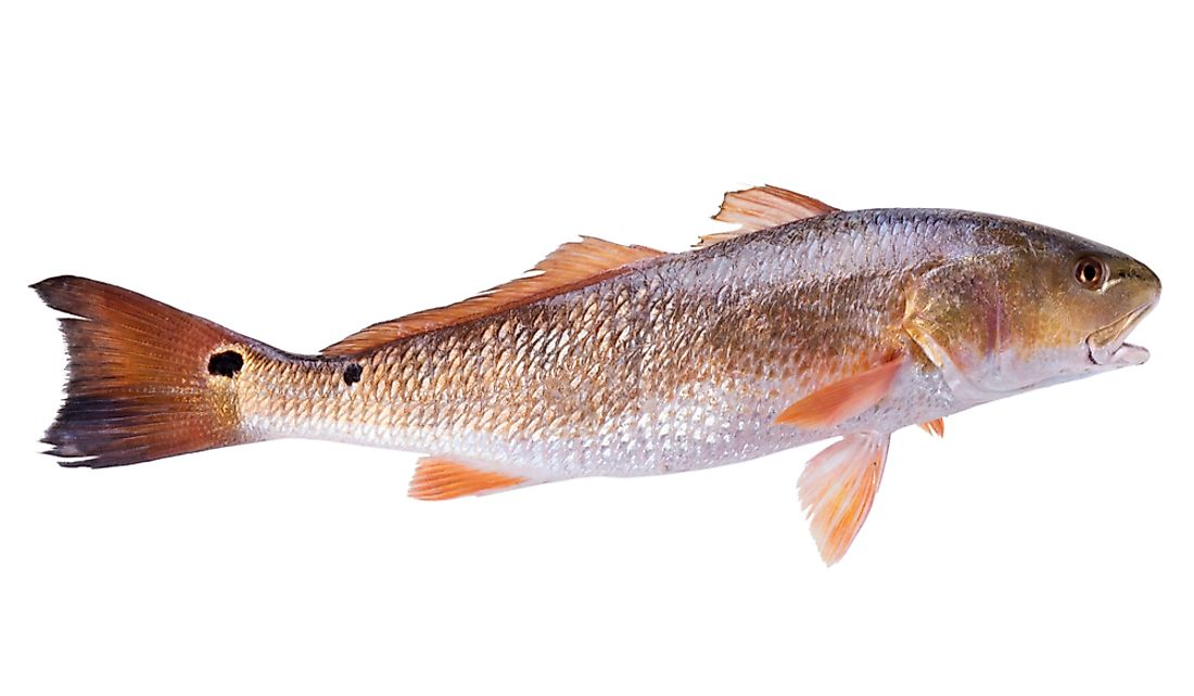 What Is The Texas State Fish?