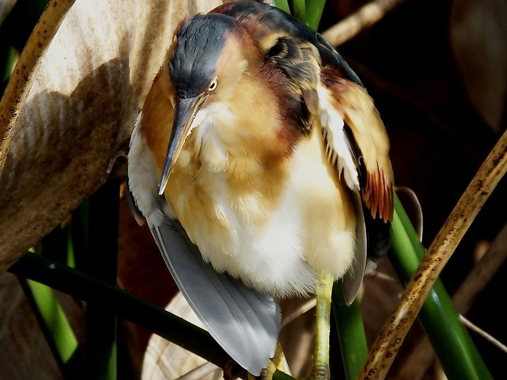 Least Bittern Facts: Animals of North America