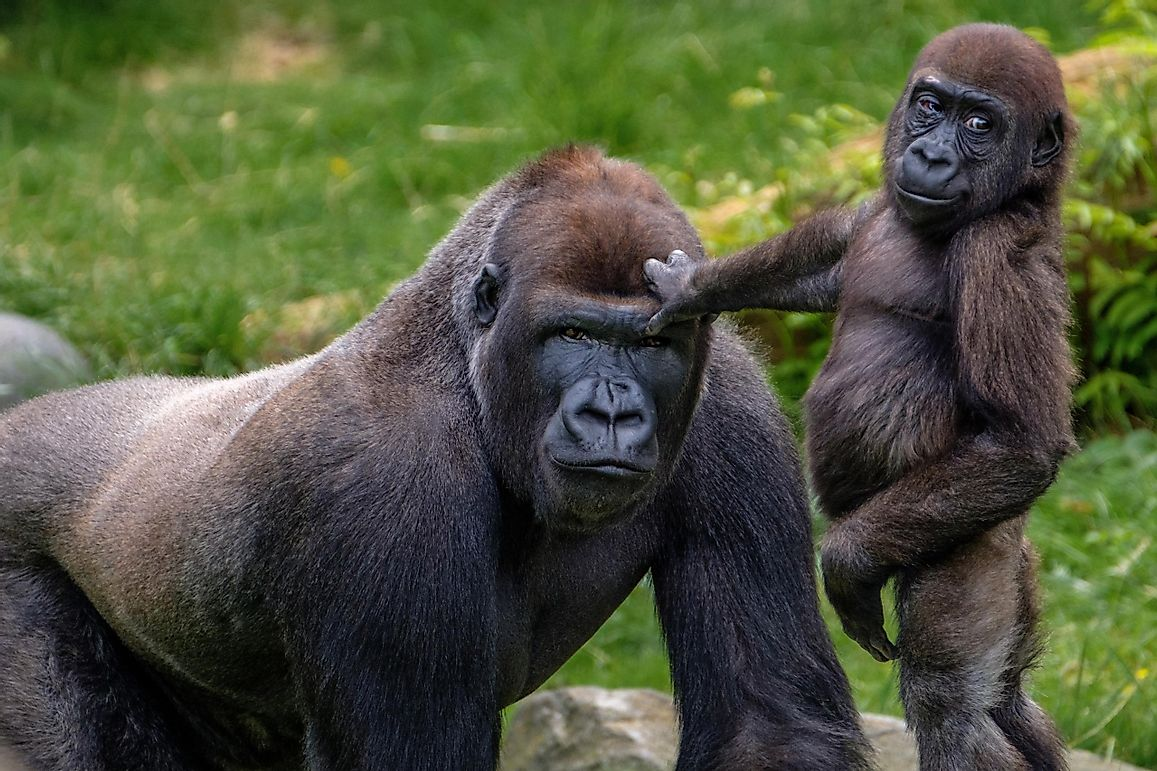 What Features Do Humans And Gorillas Have In Common?