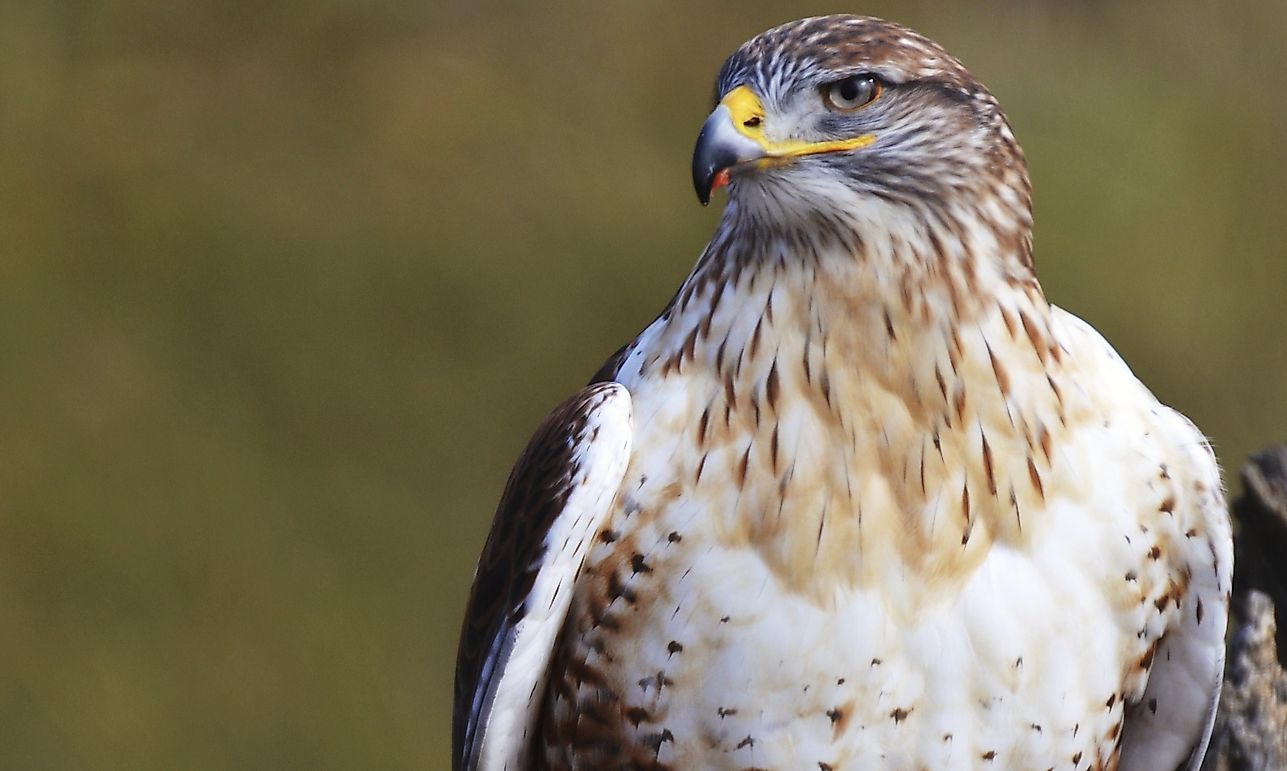 Ferruginous Hawk: Animals of North America