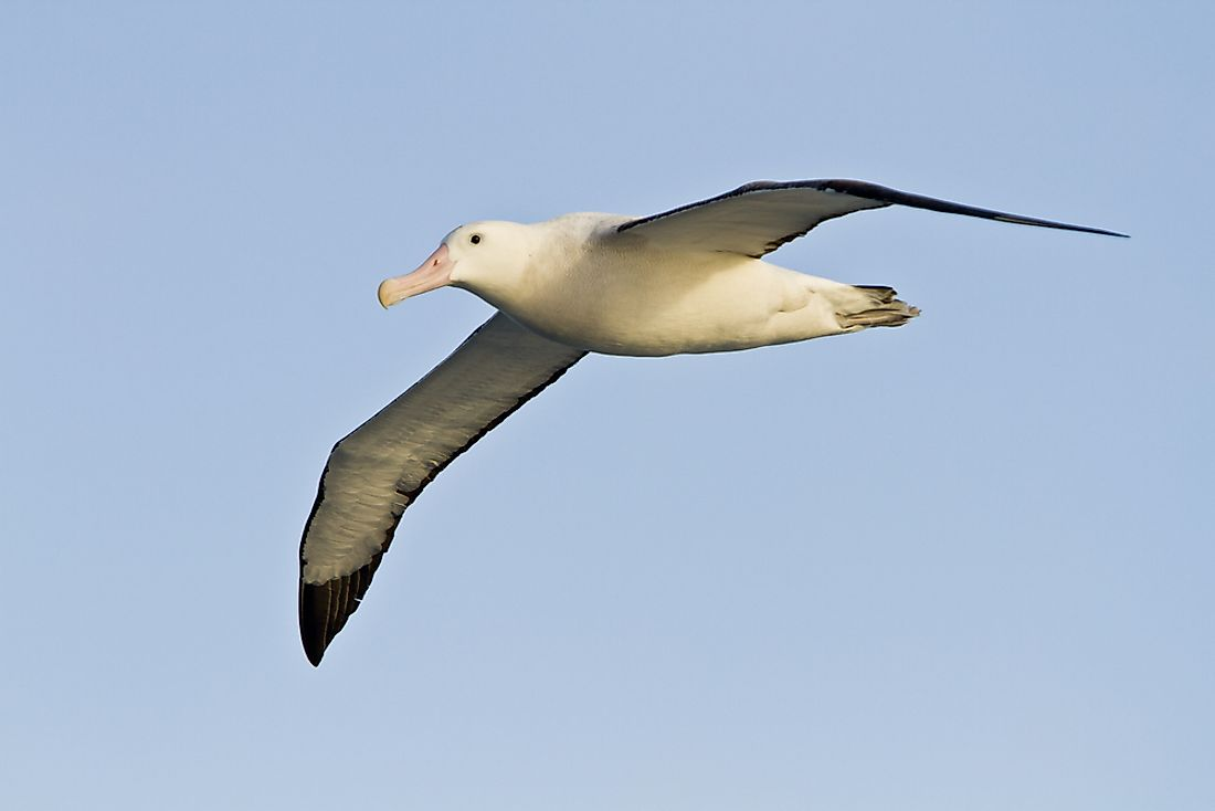 What is the World's Largest Species of Albatross?