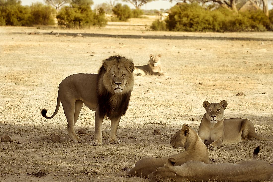 Trophy Hunter Claims the Life of Xanda, Cecil the Lion's Son