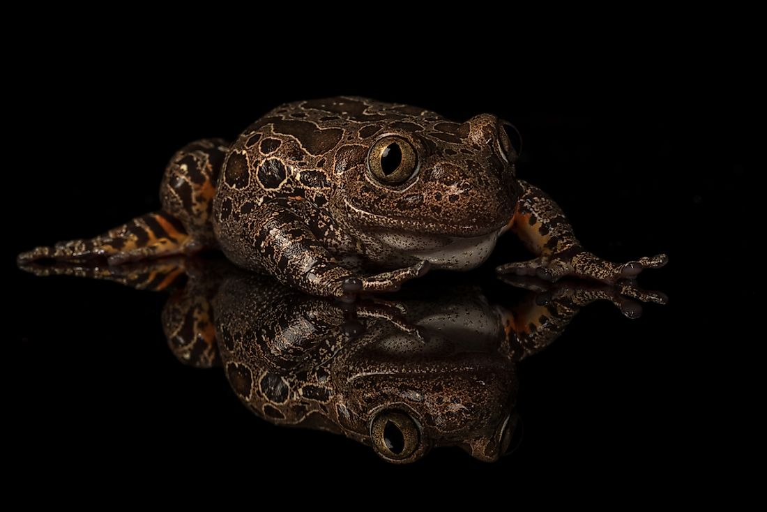 Native Amphibians Of Nigeria