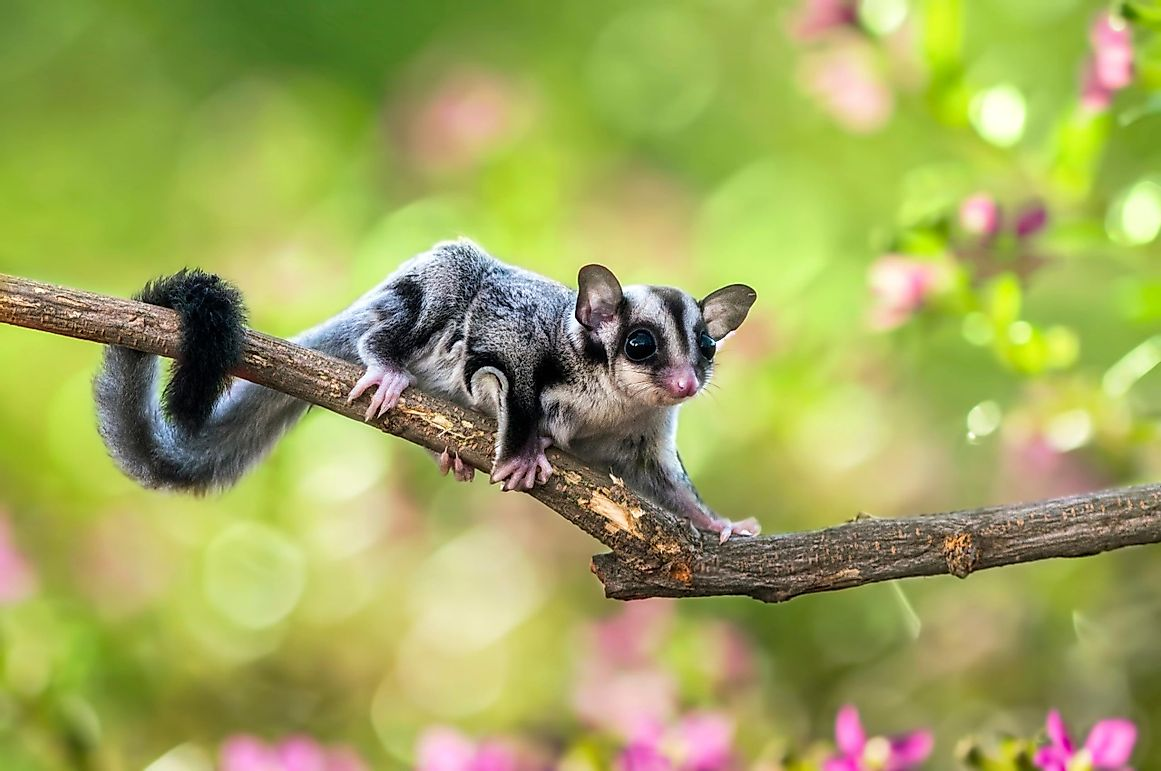 All You Wanted To Know About Sugar Gliders: Do Australian Possums Make Good Pets?