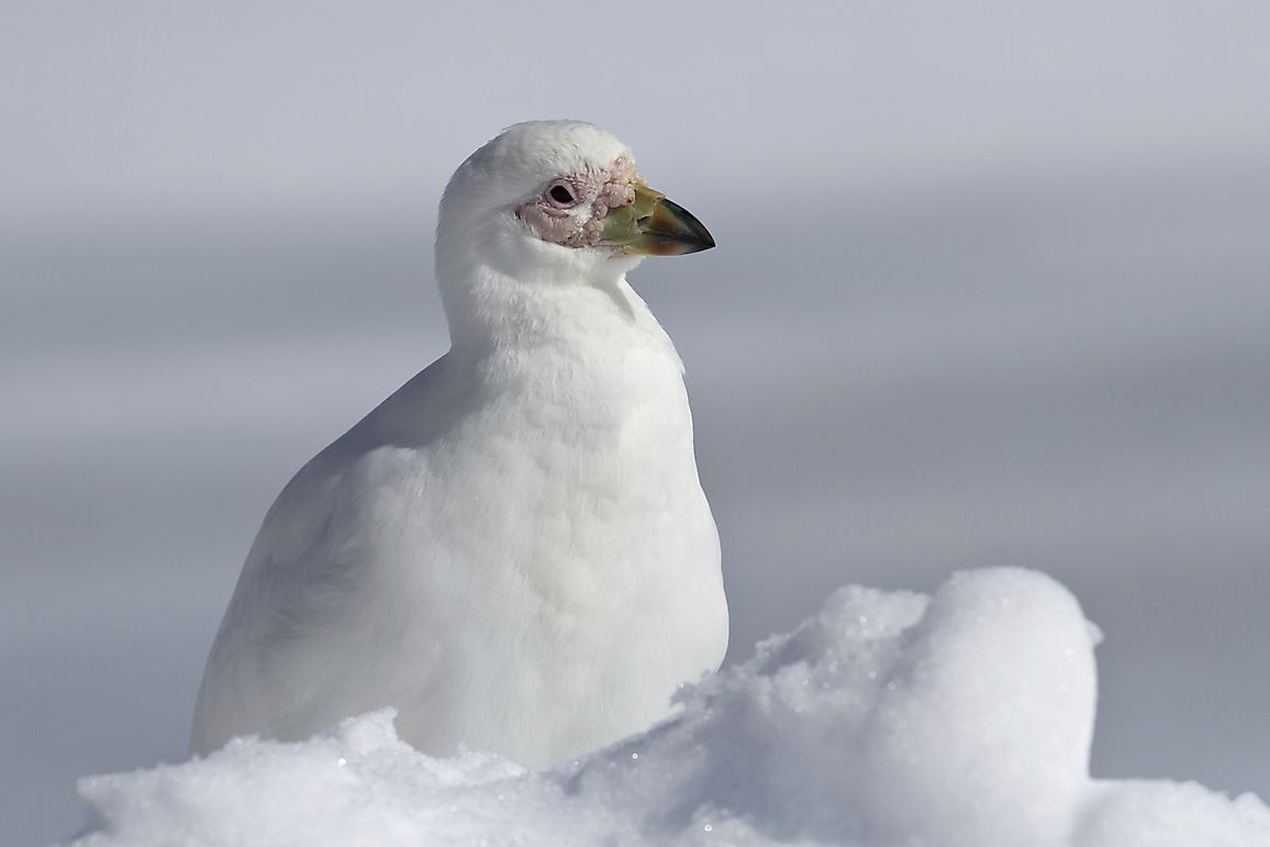 Snowy Sheathbill Facts: Animals of Antarctica