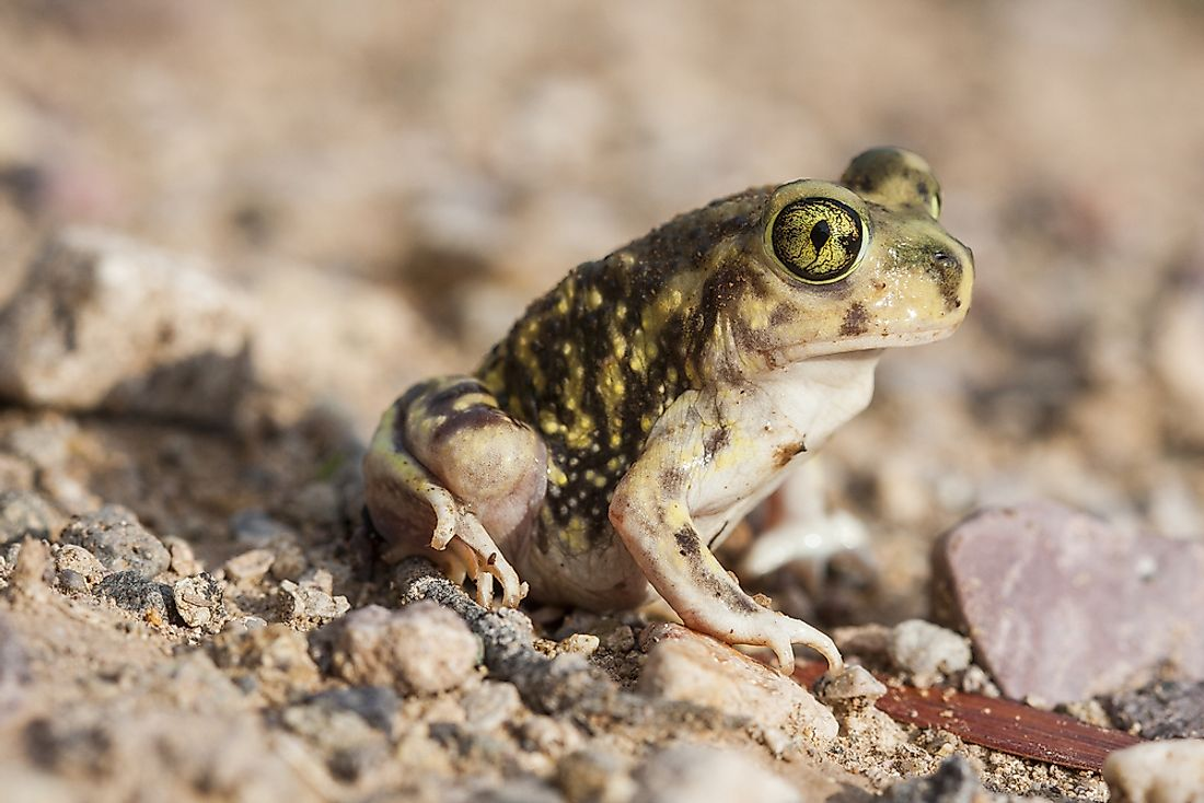 Spadefoot Toad Facts: Animals of North America
