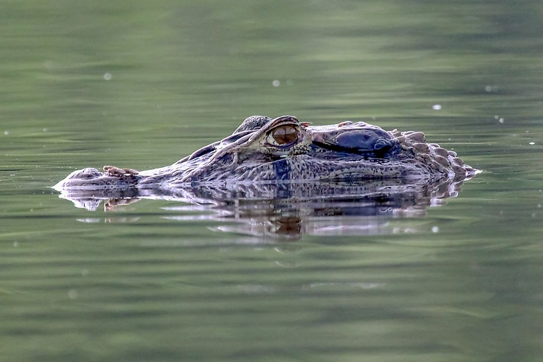 What Are The Differences Between A Caiman And An Alligator?