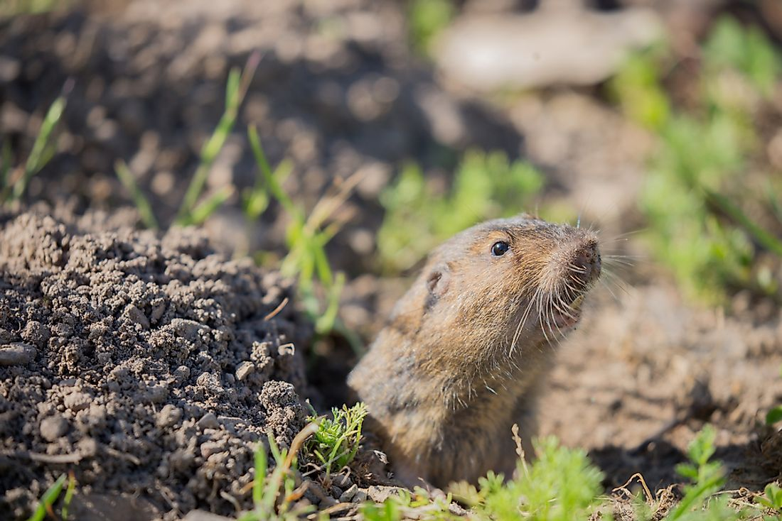 Pocket Gopher Facts: Animals of North America