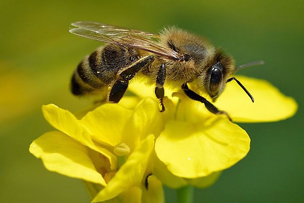 Why Are Bees Going Extinct?