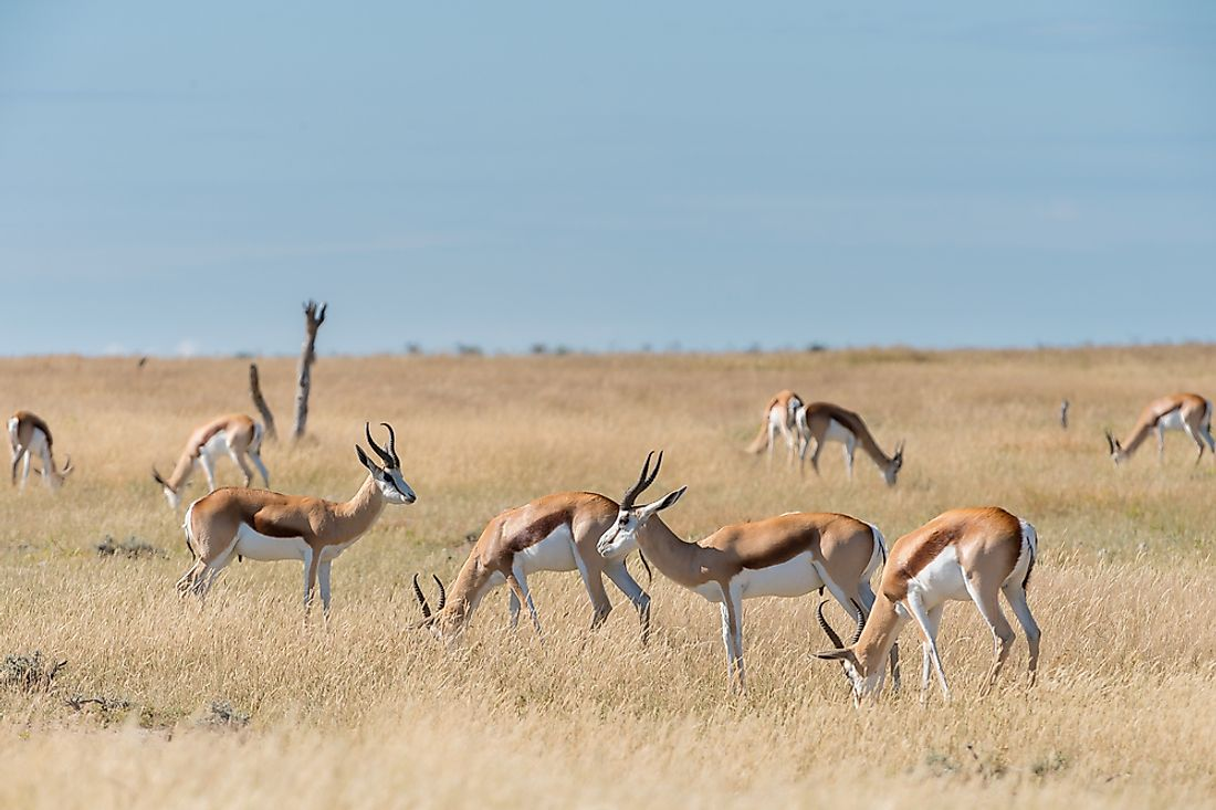 What Are The Differences Between A Springbok And An Impala?