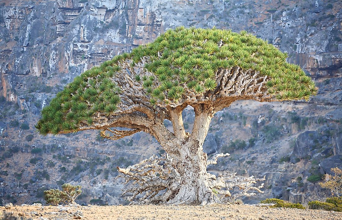 Why Is The Dragon Blood Tree Called So?