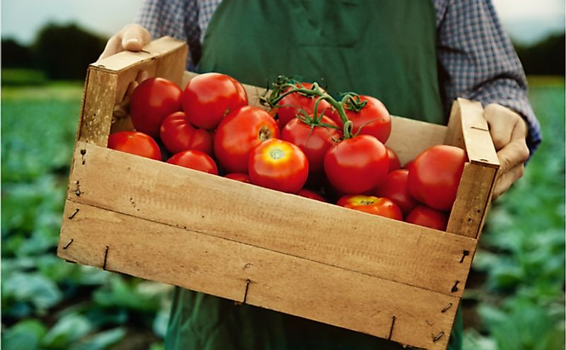The Top 10 Tomato Producing States In The United States
