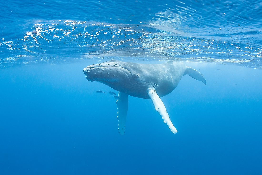 Humpback Whale Facts: Animals of the Oceans