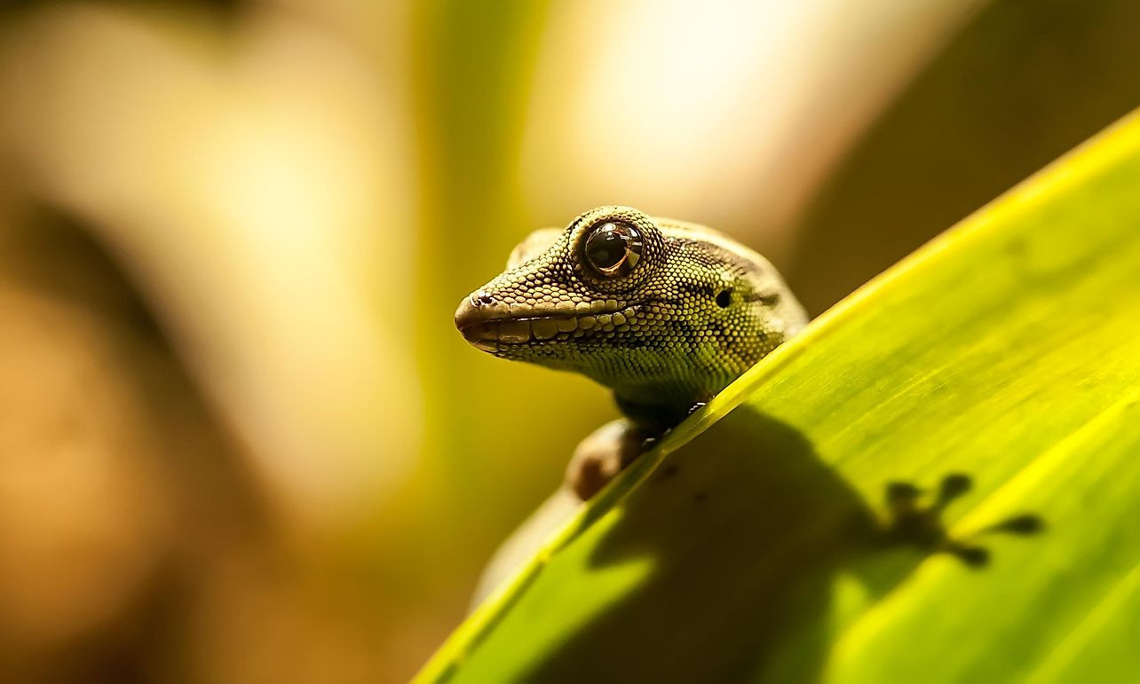 How Many Species Of Lizards Are There?