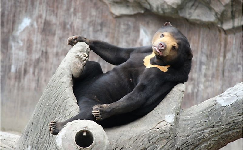 What Are The Differences Between The Sloth Bear, Asian Black Bear, And Sun Bear?