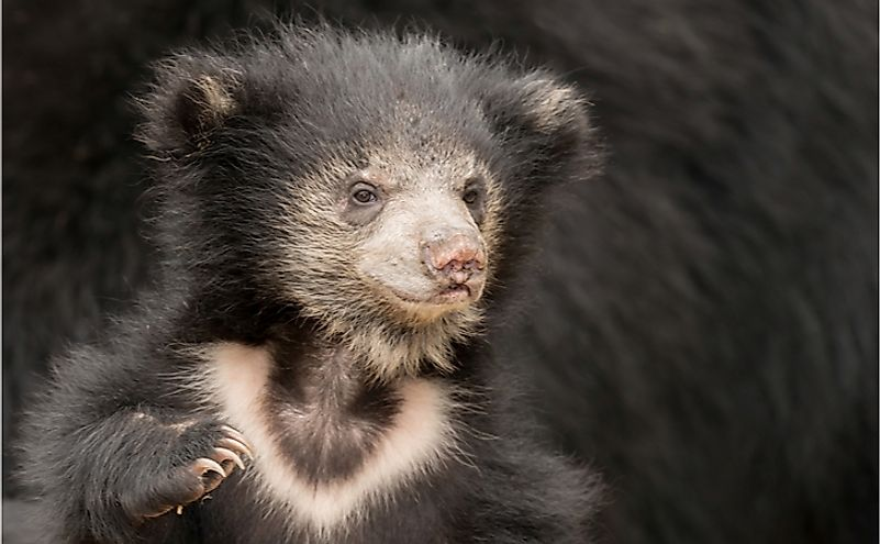 Where Does The Sloth Bear Live?