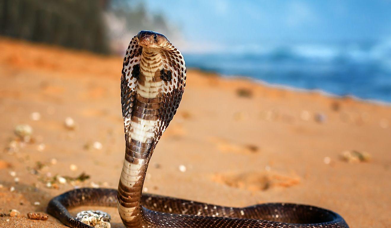 Why The King Cobra Needs To Be Saved? - WorldAtlas com