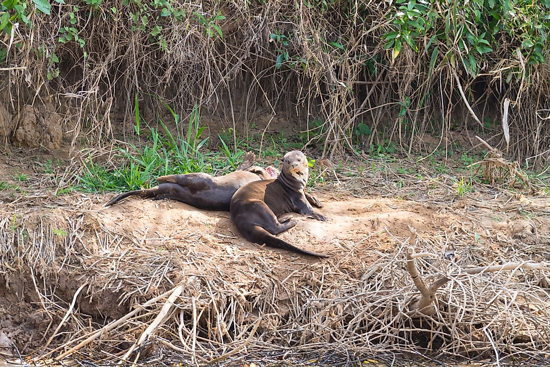 Giant Otter Facts - Animals of South America