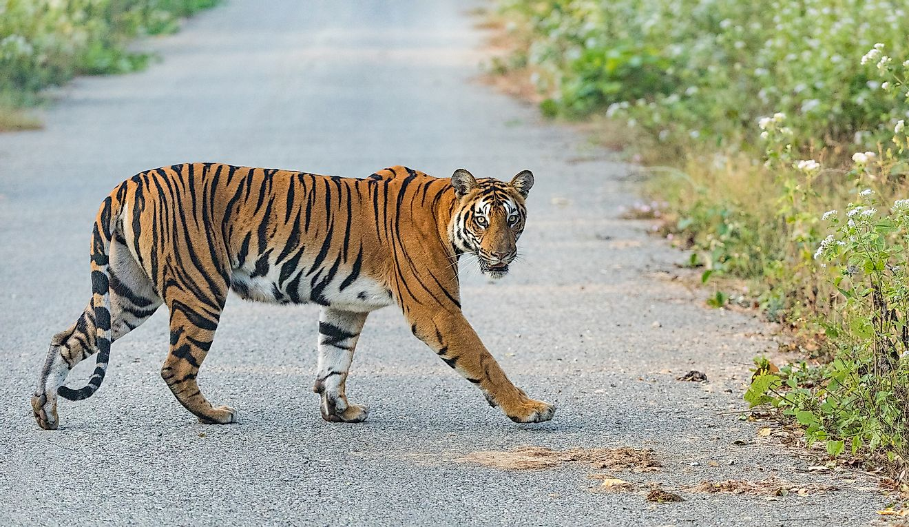 Road-construction Spree In Asia Could Mean The End Of The Road For Tigers