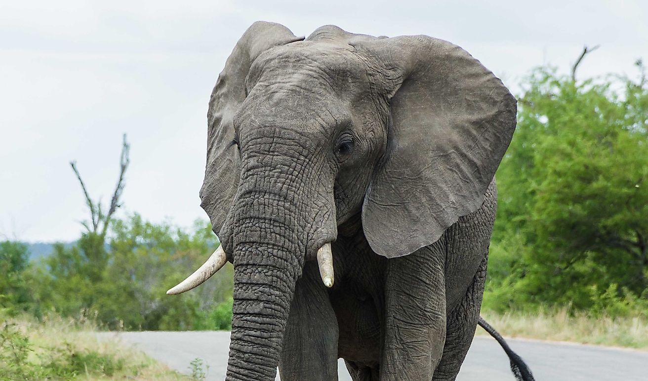 African Elephant Facts: Animals of Africa