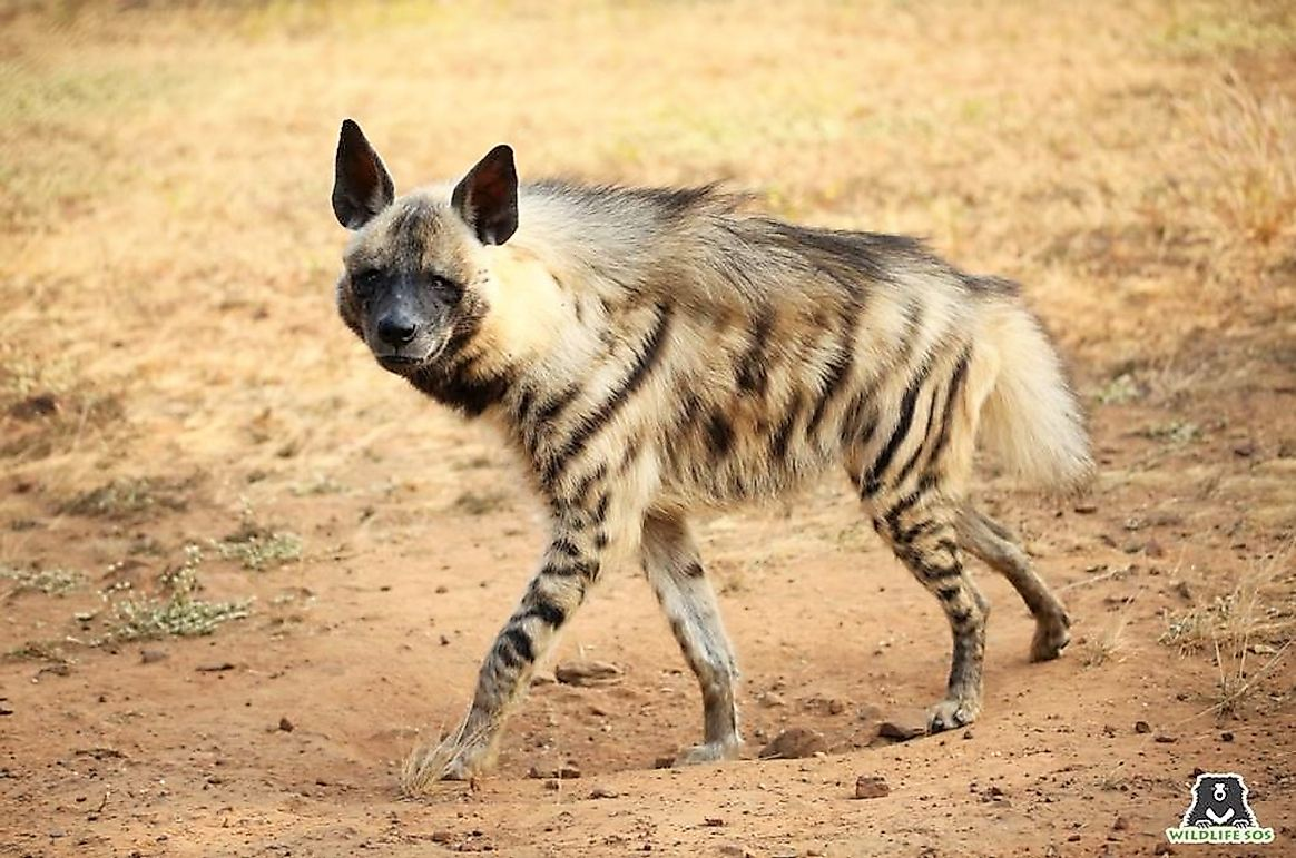 Time To Recognize That Hyenas Are Nice, Not Nasty