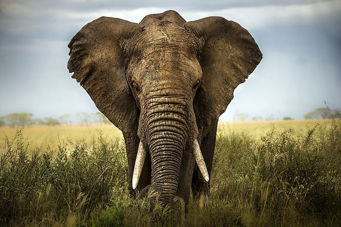 The Differences Between an Asian Elephant and an African Elephant