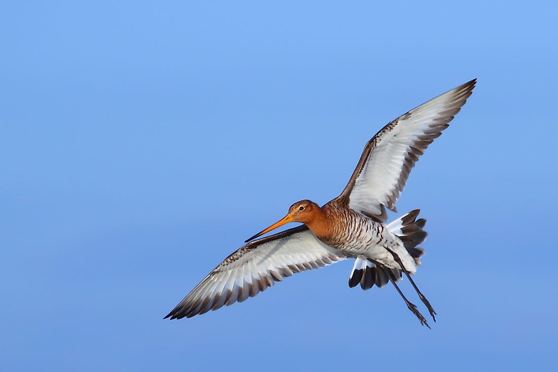 The Four Species Of Godwits Living In The World Today