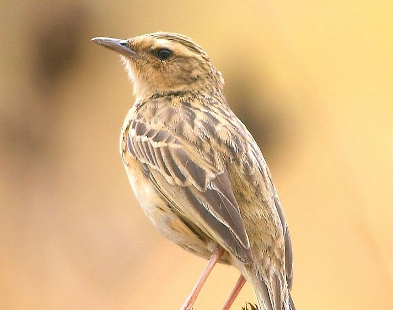 Native Bird Species Of India
