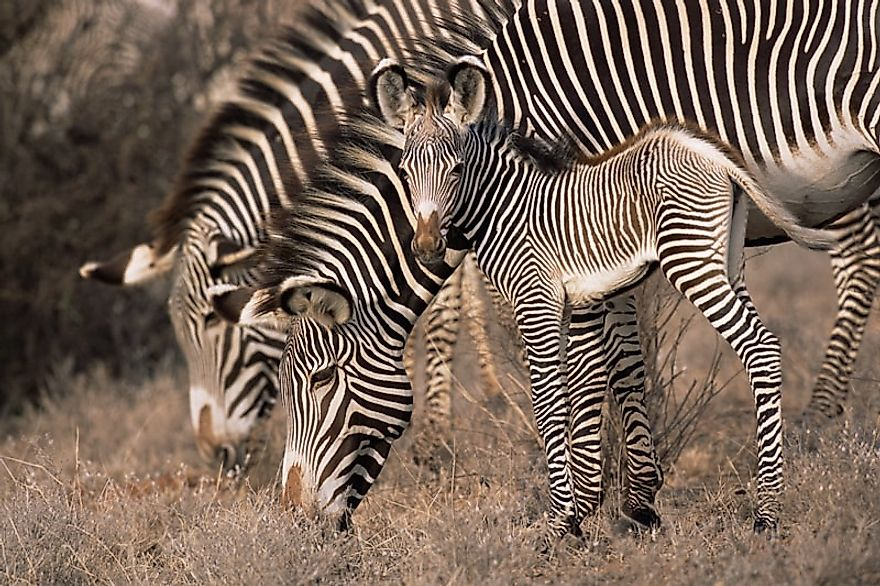 As Grevy's Zebra Numbers Plummet, New Conservation Initiatives Emerge