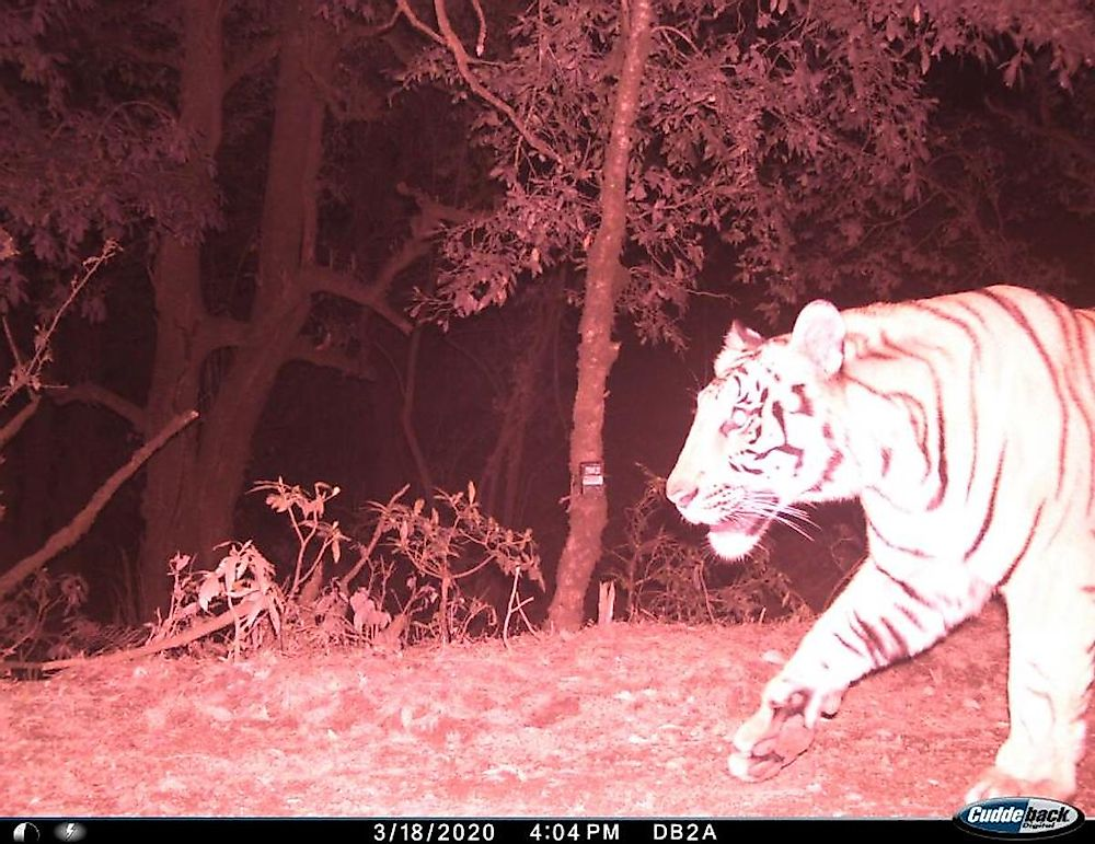 Nepal's Highest Tiger Sighting Is A Reminder To Save The Big Cat's Himalayan Home
