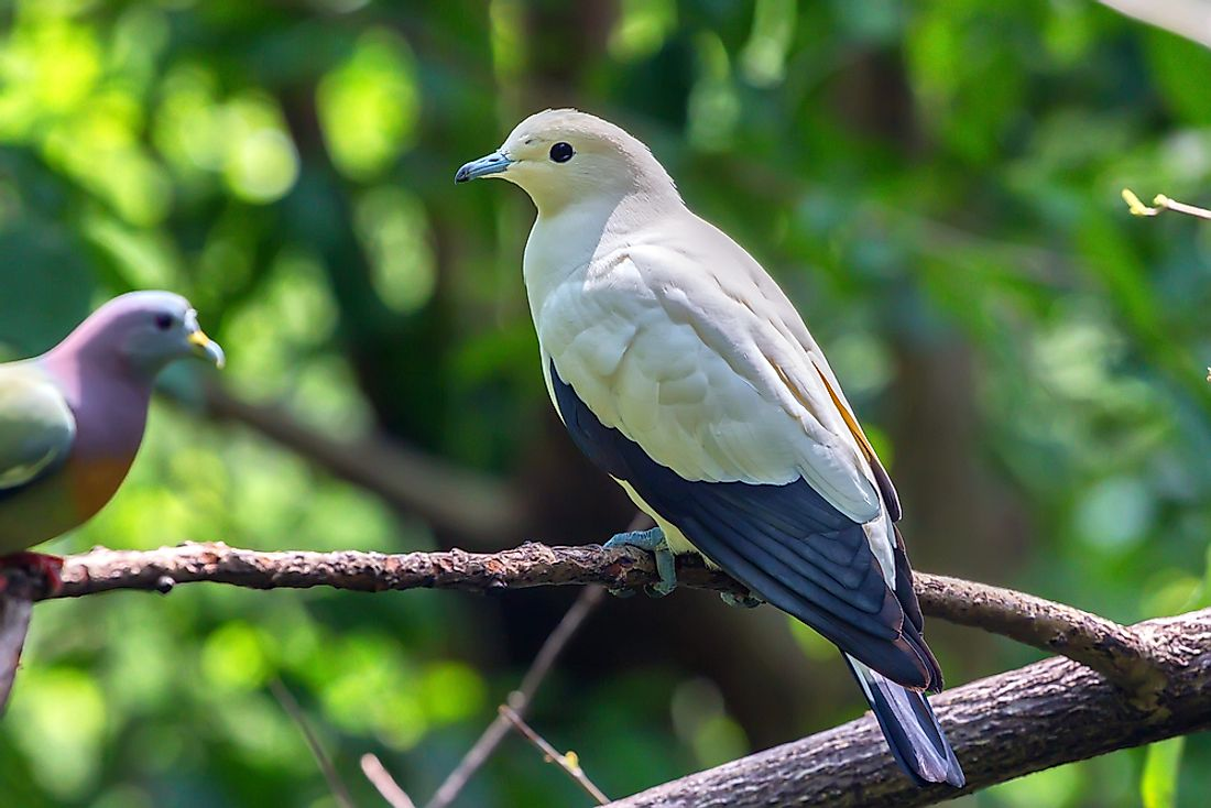 The Eleven Species Of Pigeons And Doves That Are On The Brink Of Extinction