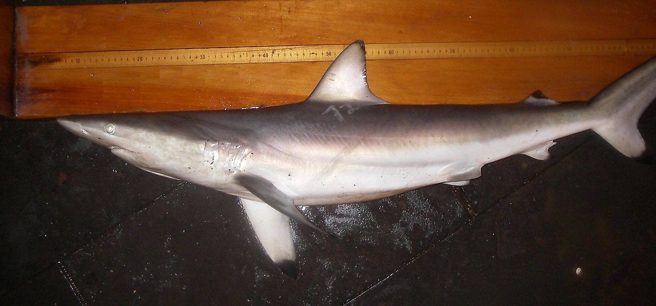 Spinner Shark Facts: Animals of North America
