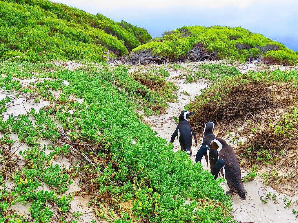 For African Penguins, It's a Worrying Future