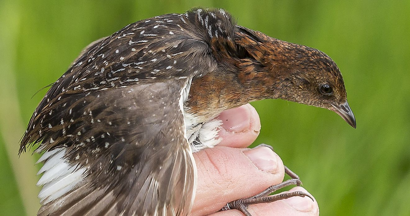 A New Discovery Means New Hope For a Very Rare Bird