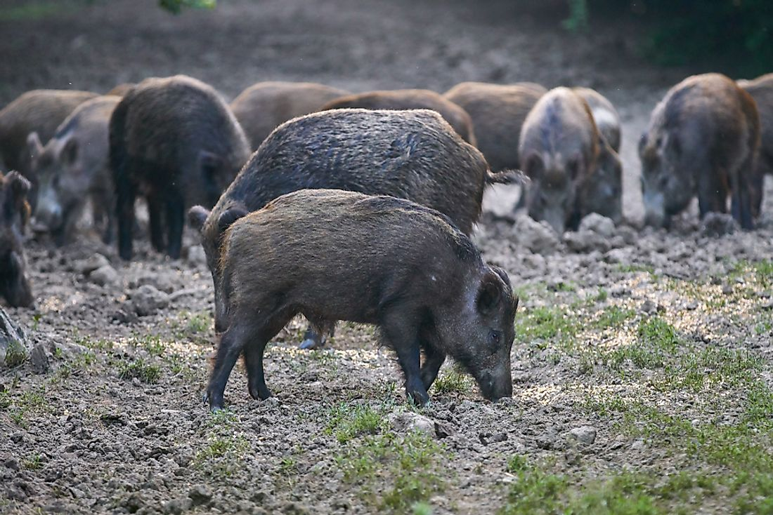 Feral Hogs Attack And Kill In Texas