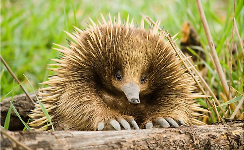 The Four Species Of Echidnas Living Today