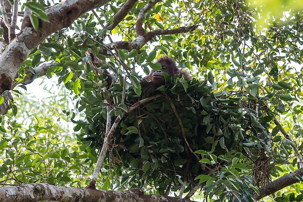 Did You Know That Some Primates Build Nests?