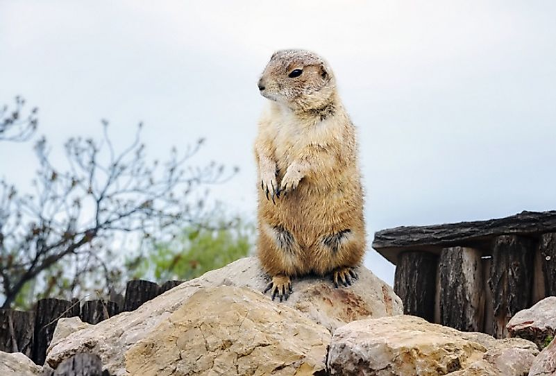 Groundhog Facts: Animals of North America