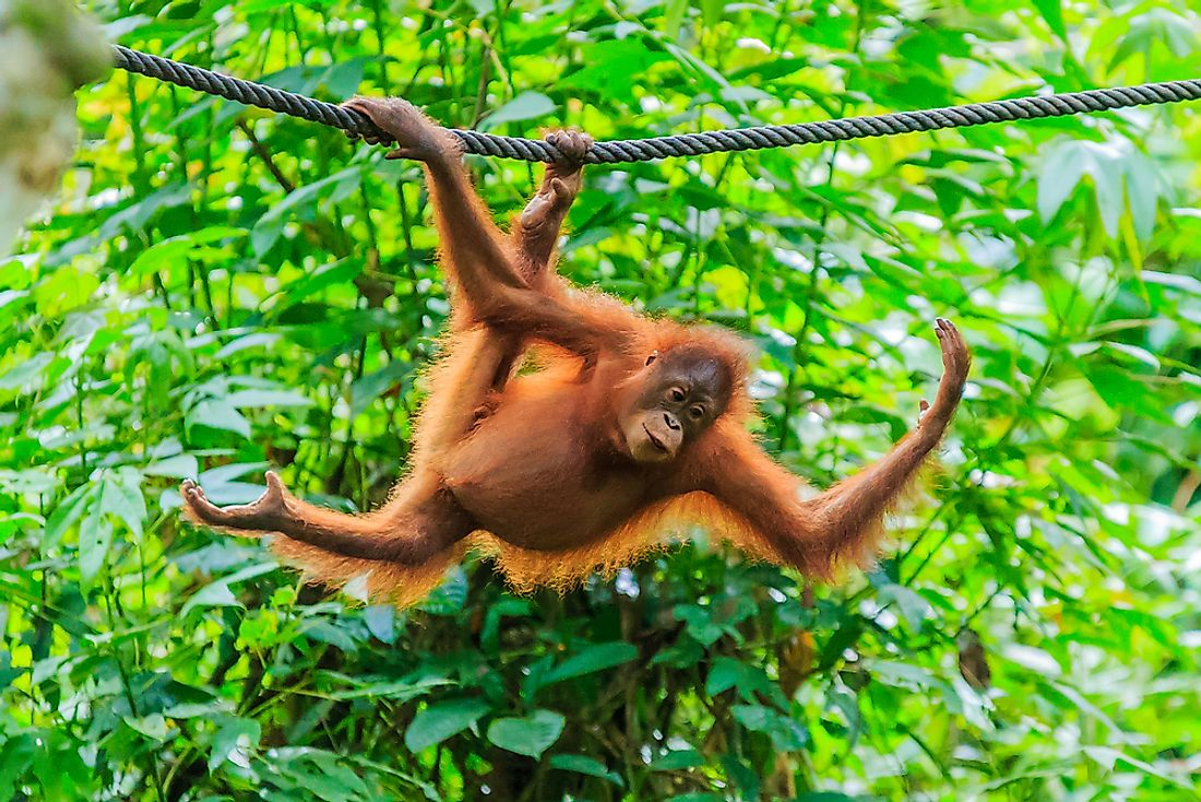 Population Of Orangutans: Important Facts And Figures