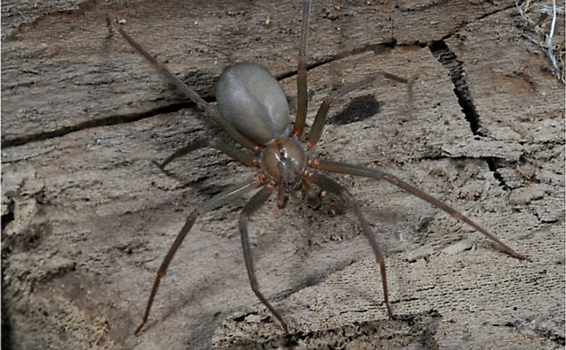 Where Do Brown Recluse Spiders Live?