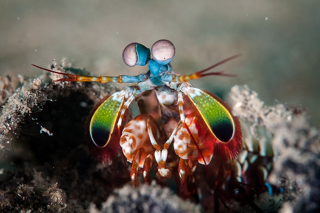 Mantis Shrimp Facts - Animals of the Oceans