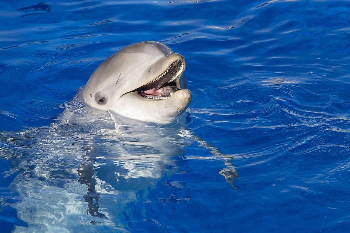 Bottlenose Dolphin Facts: Animals of North America