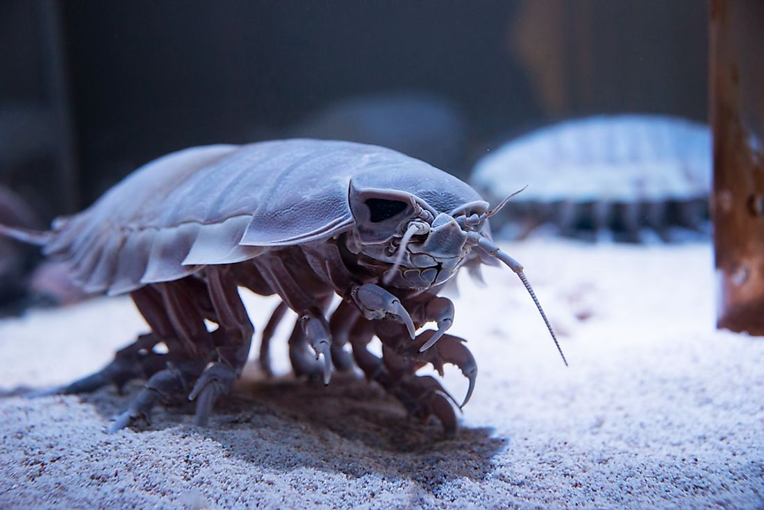 Giant Isopod Facts - Animals Of The Oceans