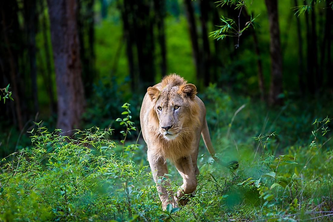 Where Do Asiatic Lions Live In The Wild?