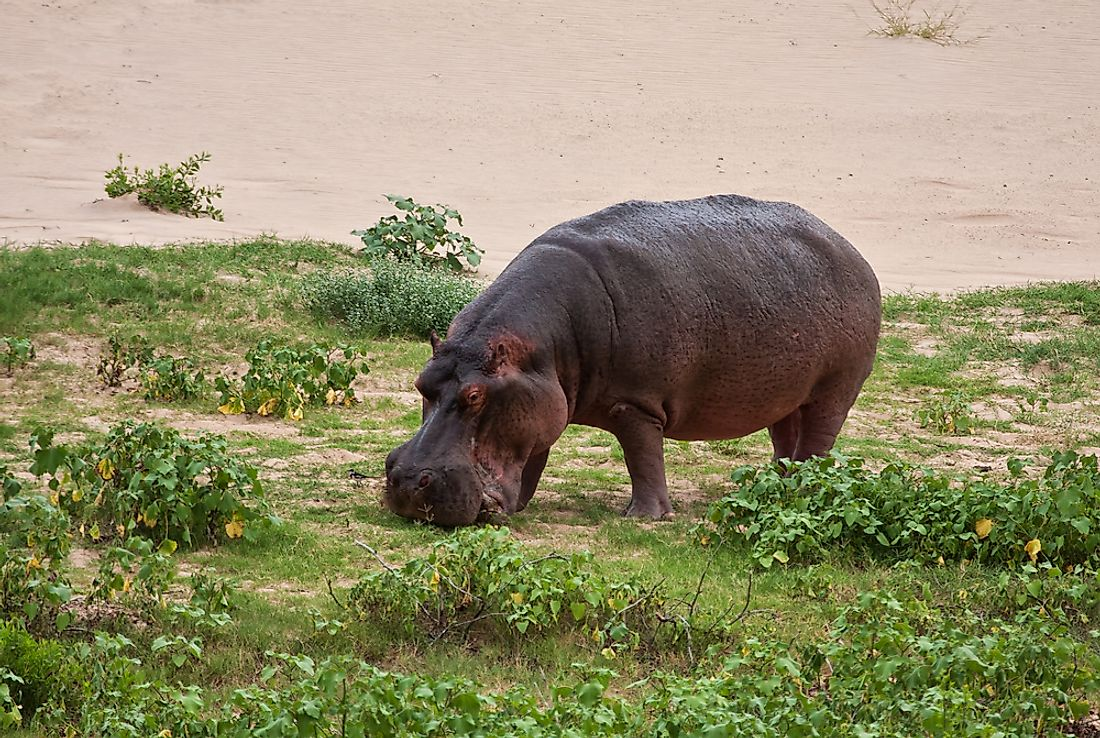 Mother-with-Baby-hippo – Hippoworlds |Hippo Eating Grass